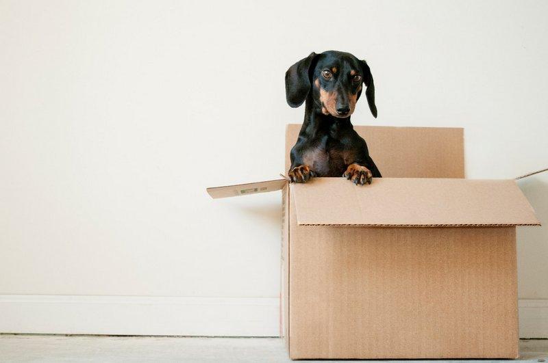 Pies w kartonie do przeprowadzek